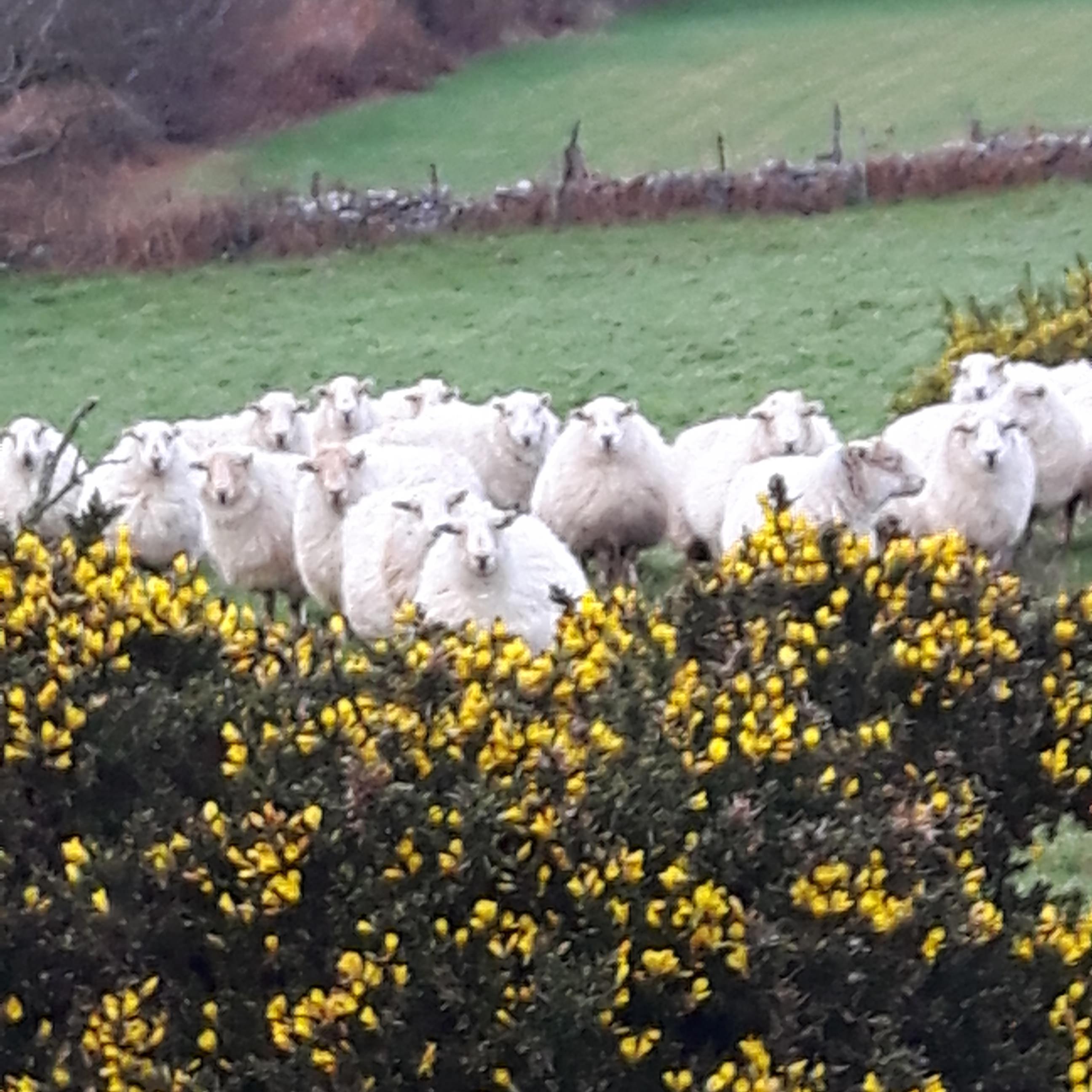 Tyn Llain sheep