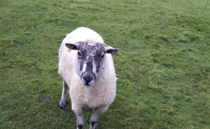Holly the sheep