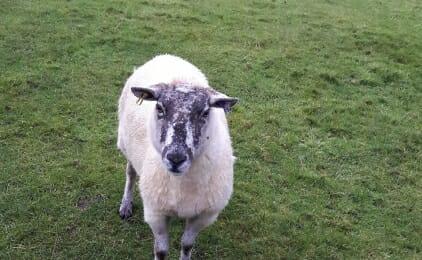 Holly the sheep
